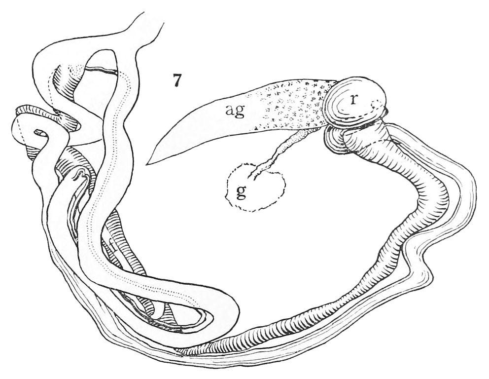 File:Anostoma depressum reproductive system.jpg - Wikimedia Commons