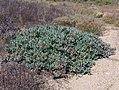 Antegibbaeum = Gibbaeum fissoides? (Aizoaceae) (4087578890).jpg