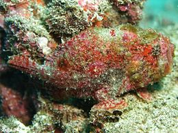 Antennarius-coccineus2