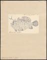 Antennarius histrio - 1700-1880 - Print - Iconographia Zoologica - Special Collections University of Amsterdam - UBA01 IZ13600219.tif