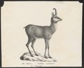 Antilope rupicapra - 1809-1845 - Print - Iconographia Zoologica - Special Collections University of Amsterdam - UBA01 IZ21400211.tif