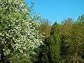 Apfelblüte in Ehingen - panoramio.jpg
