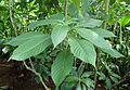 Aphelandra sinclairiana kz1.jpg