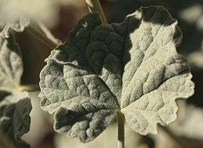 Apricot mallow leaf closeup.jpg
