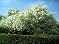 April Stern Magnolie Denzlingen - Master Seasons Rhine Valley 2013 - panoramio.jpg