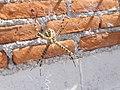 Araña de jardín (Ags., México) 09.jpg