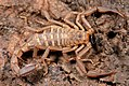 Arachnida, Scorpiones, F Vaejovidae, Pseudouroctonus or Serradigitus?? (3406423112).jpg