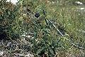 Aralia hispidaWPC.jpg