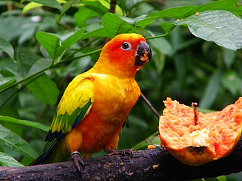 Sun Parakeet (also known as Sun Conure) at Jur...