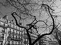 Arbre déglingué boulevard Saint-Germain à Paris.jpg