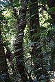 Arbre torsadé - forêt du banco.JPG
