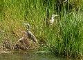 Ardeola ralloides Squacco Heron (32950681962).jpg