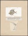 Argyreiosus vomer - 1700-1880 - Print - Iconographia Zoologica - Special Collections University of Amsterdam - UBA01 IZ13500417.tif