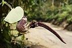 Aristolochia ringens 3791.jpg