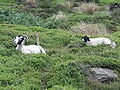 Arnfield Clough Sheep 3305.JPG