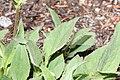 Arnica mollis 0050.JPG