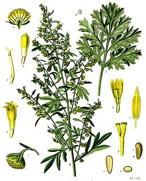 Common wormwood (Artemisia absinthium), illustration