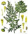Artemisia absinthium - Köhler–s Medizinal-Pflanzen-164.jpg