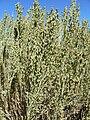 Artemisia nova 7.jpg