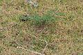 Ashy-crowned Sparrow Lark (Eremopterix grisea) nest W IMG 0861.jpg