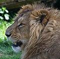 Asiatic Lion (8682595977).jpg