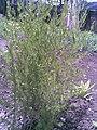 Asparagales - Asparagus officinalis - 3.jpg