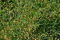 Asparagus officinalis (8418981033).jpg