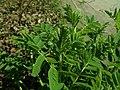Astragalus canadensis 2019-04-16 0409.jpg