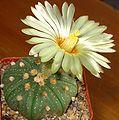 Astrophytum asterias flower.jpg