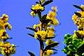 Atlas roslin pl Berberys Julianny 2845 6458.jpg