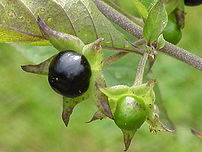 Berries of belladonna.