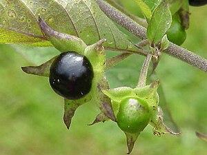 Schwarze Tollkirsche (Atropa belladonna)