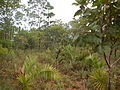Attalea barreirensis habitat.JPG