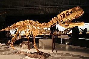 Skelettrekonstruktion von Aucasaurus garridoi