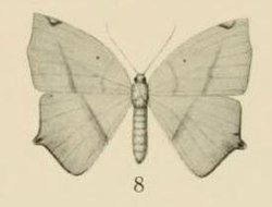 Aurevilius, 1910. Pl.2-08-(Thinopteryx) Epigynopteryx africana (Aurivillius 1910).JPG