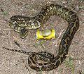 Australian carpet python 03.jpg