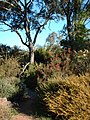 Australian native flowers and trees - panoramio.jpg