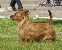 Australian terrier Moletai May 2014.jpg