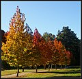 Autumn colours. Near Boynton's Winery, Great Alpine Road, Porepunkah. Peter Neaum. - panoramio.jpg