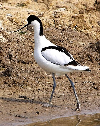 Royal Society for the Protection of Birds - An Avocet at the RSPB's Minsmere reserve. This species is used in the RSPB's logo.