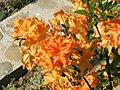 Azalia wielkokwiatowa.jpg