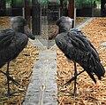 Balaeniceps rex - Zoo Frankfurt 1.jpg