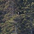 Bald Eagle (6234954918).jpg