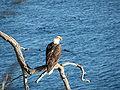 Bald Eagle Canada.jpg