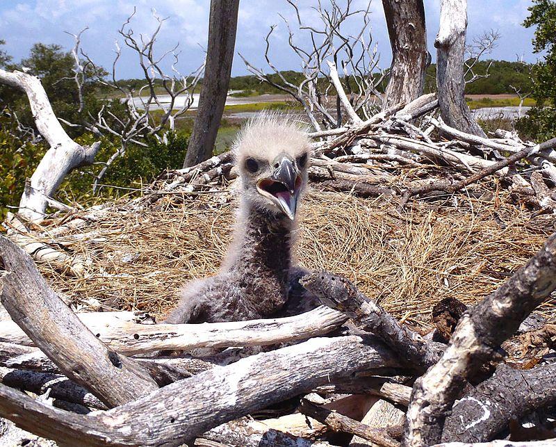 Bald Eagle Chick, NPSPhoto, Lori Oberhofner (9101506540).jpg