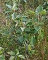 Balsam Poplar (Populus balsamifera) - Gros Morne National Park, Newfoundland 2019-08-17.jpg