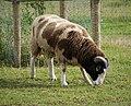 Balwen Welsh Mountain Sheep...ram (49390422772).jpg