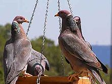 Band-tailed Pigeons.jpg