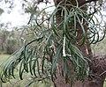 Banksia littoralis foliage.jpg