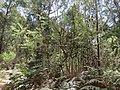 Banksia marginata (23985301278).jpg